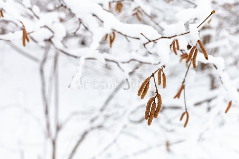 Catkins of alder tree close-up in snowy forest royalty free stock images