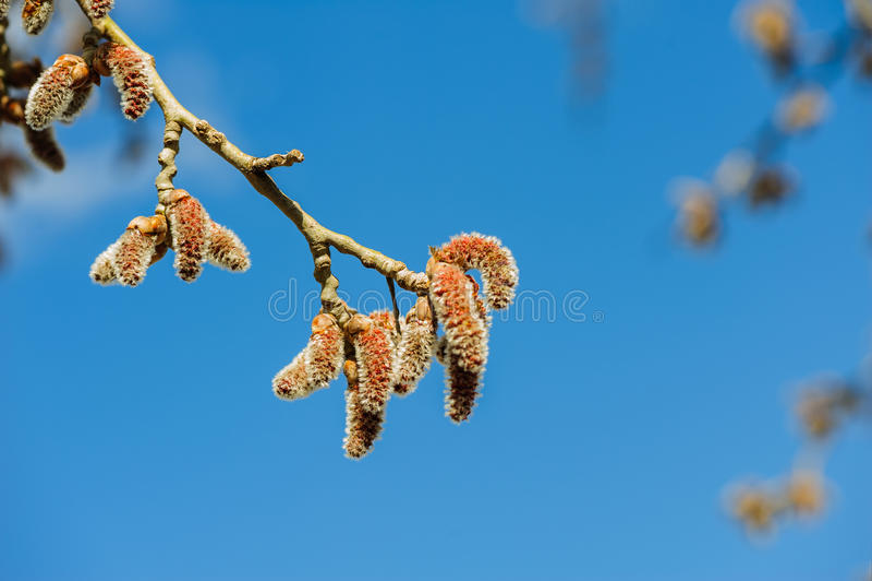 Catkins at Alder Tree. Closeup of catkins at Alder Tree during Spring stock images