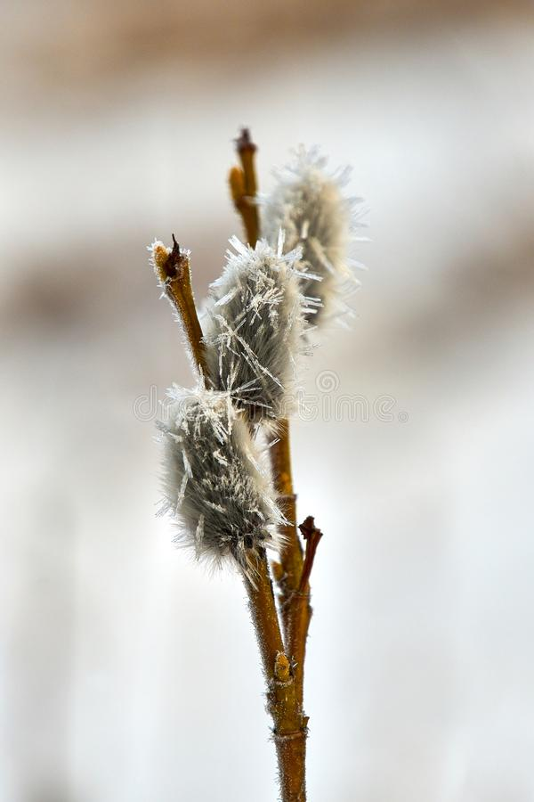 Catkins and ice. Catkins branch buds spring willow eastern   ice vold frost royalty free stock photo