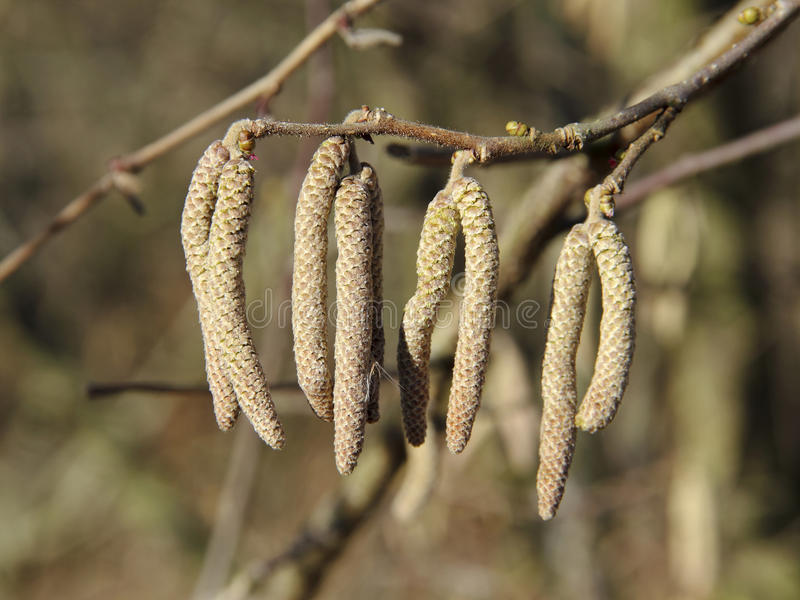 Catkins of Common Hazel. The catkins of Hazel tree (Corylus avellana) grow in fall of the previous year. They open already in January on warmer days and are so stock photos