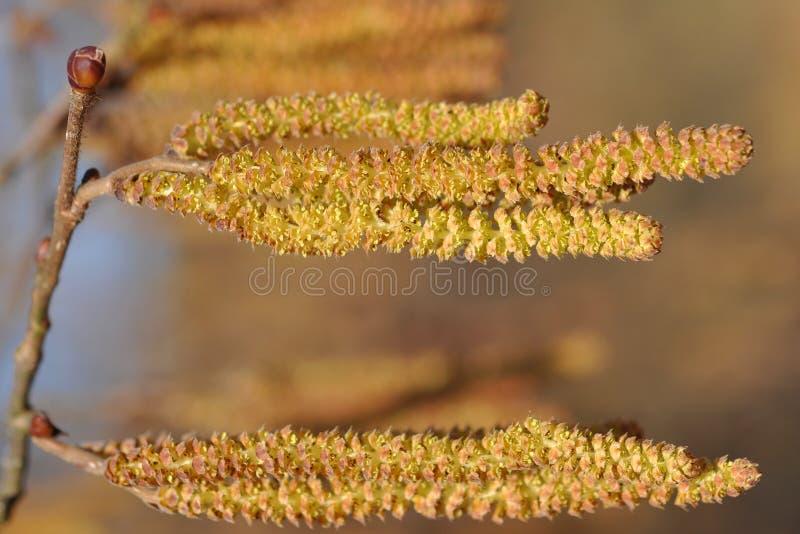 Catkins da árvore côr de avelã fotografia de stock