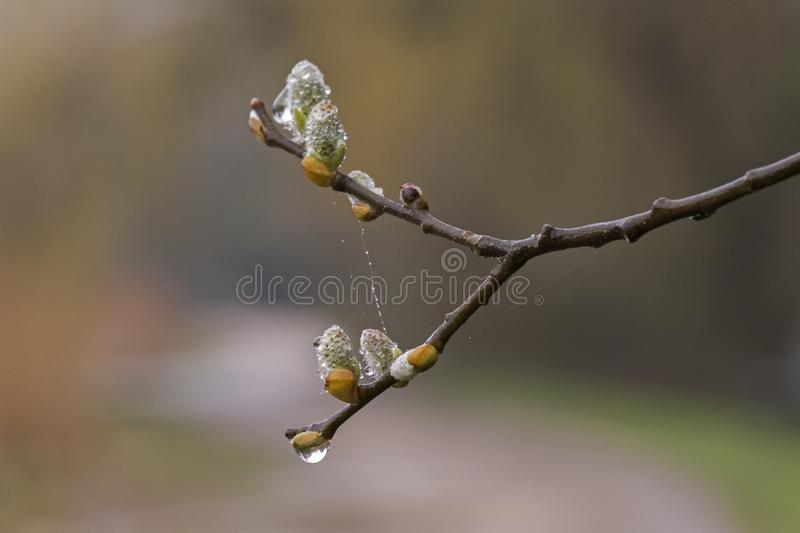 Download Catkins On A Rainy Day By The Ornamental Pond, Southampton Common Stock Photo - Image of spring, southampton: 113329504