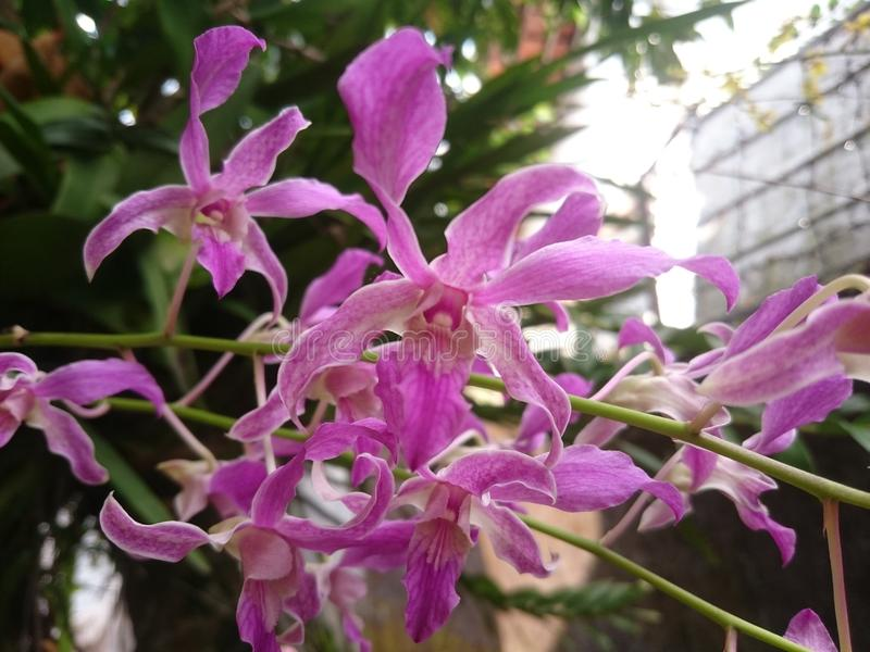 Catleya orchid flower. royalty free stock photo