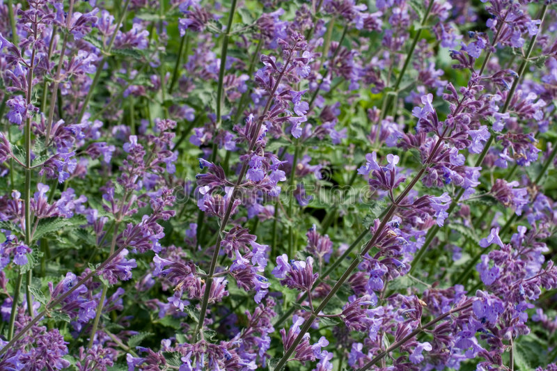 Catnip. The herb plant catnip in natural envirenment royalty free stock photos