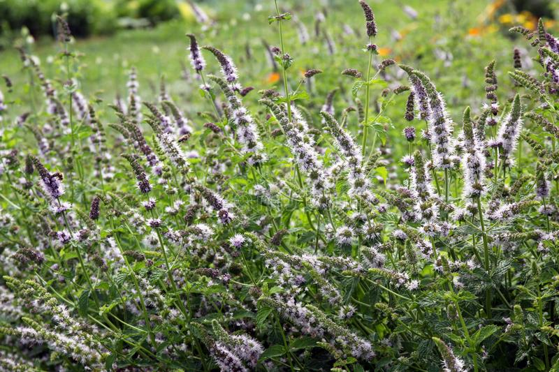 Catmint with flowers. Catnip, Catmint, Nepara cataria is a perennial. Catmint strongly attracts cats, which can also destroy large plants very quickly. If we royalty free stock photos