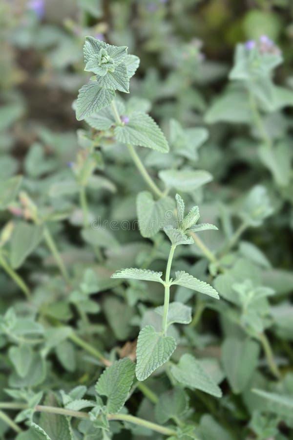 Catnip. Leaves - Latin name - Nepeta grandiflora stock photography