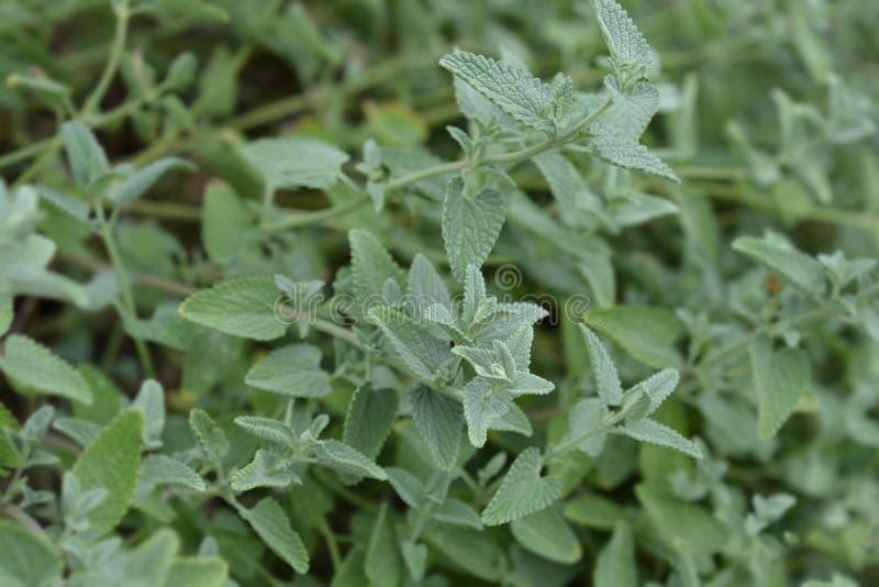 Catnip. Leaves - Latin name - Nepeta grandiflora stock images
