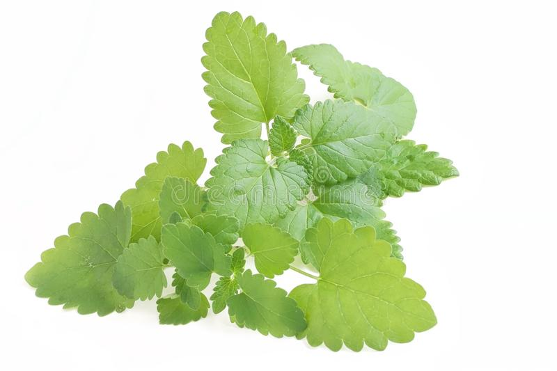 Catnip. The close up shot of some fresh catnip leaves on white background stock photography