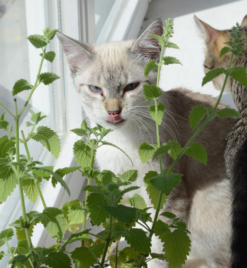 Catnip. Cute happy kittens on catnip royalty free stock photos