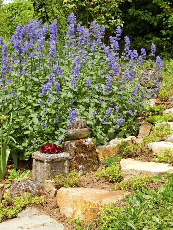 Catnip. Flowering Catnip Plant in garden - Nepeta stock photos