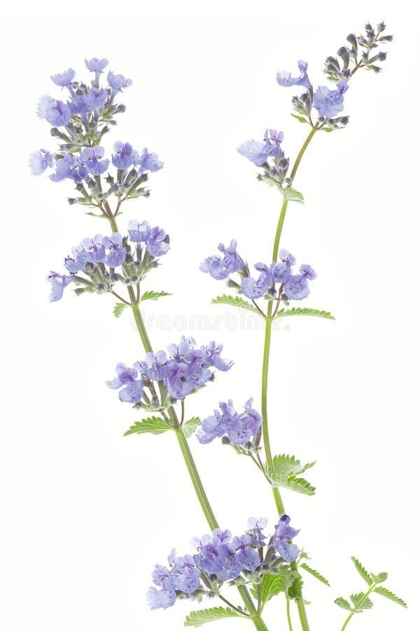 Catnip flowers (Nepeta cataria). On white background stock images