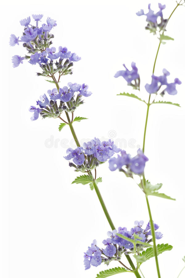 Catnip flowers (Nepeta cataria). On white background stock image