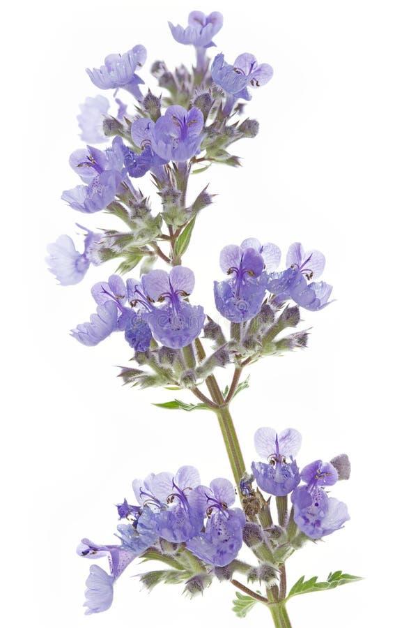 Catnip flowers (Nepeta cataria). On white background royalty free stock image