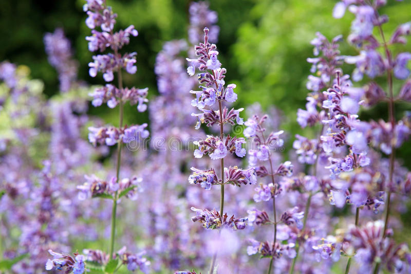 Catnip flowers (Nepeta ). In country rustic garden royalty free stock photography