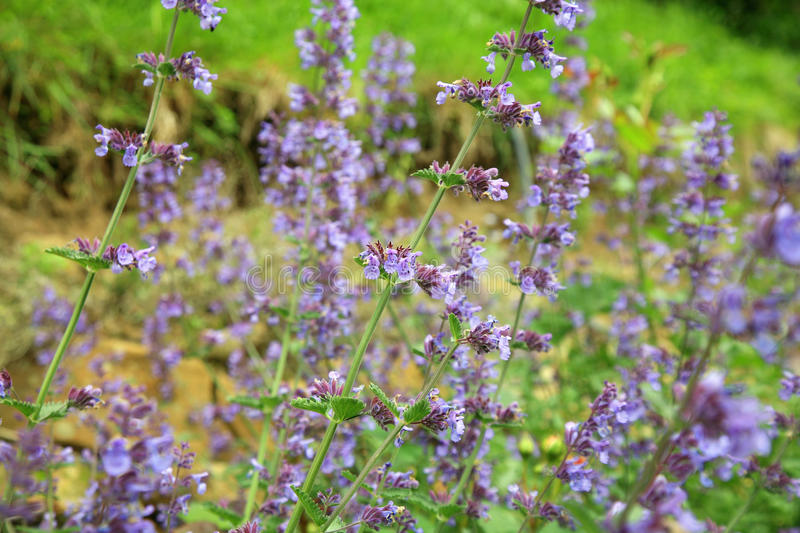 Catnip flowers (Nepeta ). In country rustic garden royalty free stock photo