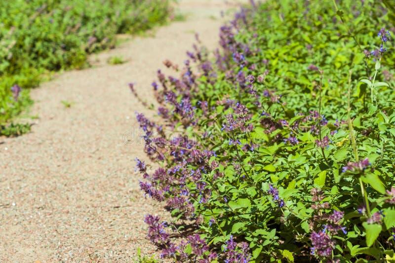 Catnip flowers (Nepeta) in country rustic garden. stock image