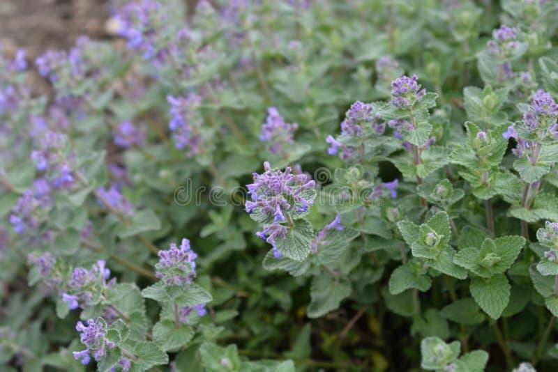Catnip. Latin name - Nepeta grandiflora royalty free stock images