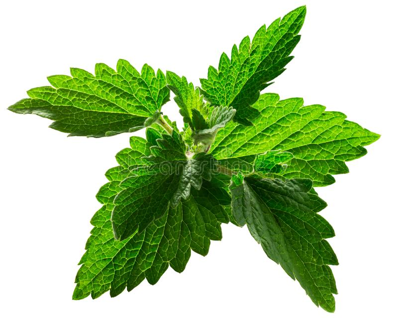 Catnip leaves n. cataria, paths. Catnip leaves Nepeta cataria, tops, isolated stock photo
