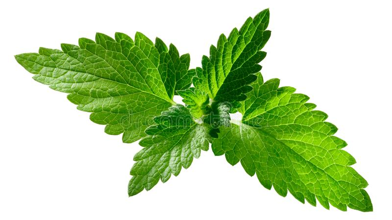 Catnip leaves n. cataria, paths. Catnip leaves Nepeta cataria, tops, isolated stock image