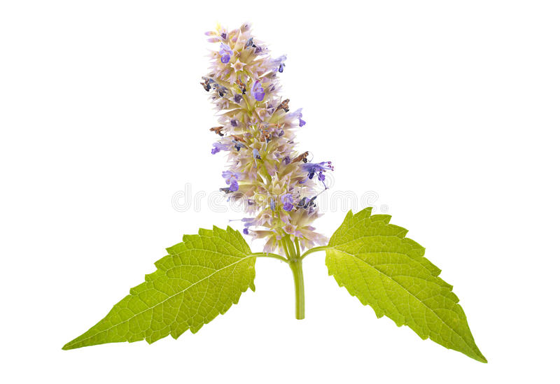 Catnip mint herb. Closeup isolated on white royalty free stock image