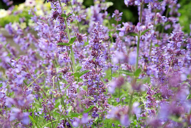 Catnip, Nepeta background. Catnip flowers (Nepeta ) in country rustic garden stock images