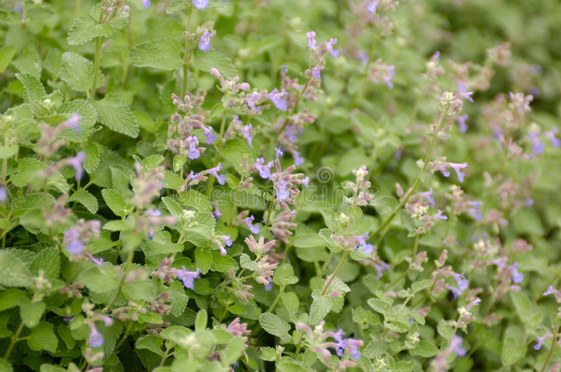 Catnip (nepeta cataria). Catnip in bloom, shot with shallow depth of field stock photos