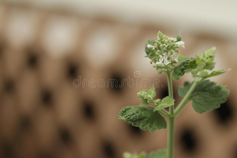 Catnip plant closeup with blooms. Catnip, Nepeta cataria or catswort or catmint plant closeup with flowers with a trellis blurred background stock image