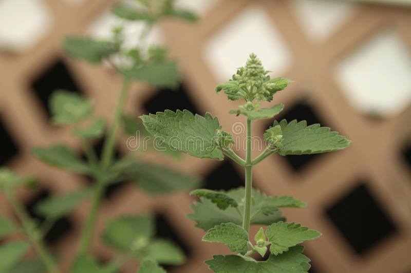 Catnip plant closeup. Catnip, Nepeta cataria or catswort or catmint plant closeup with a trellis blurred background stock images