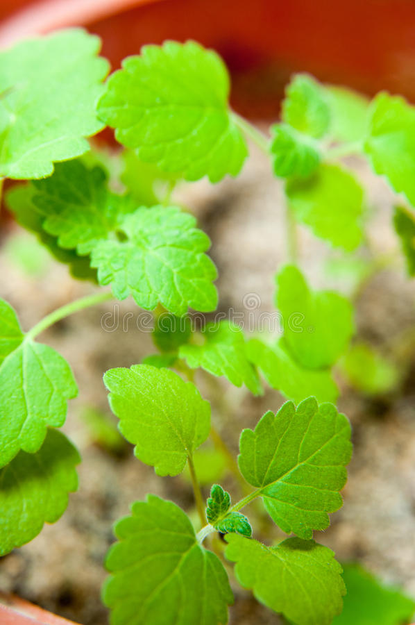 Catnip plant detail. Catnip in a pot growing in detail stock photography