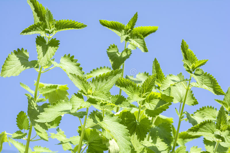 Catnip plants. Sway in the wind under blue sky stock photography