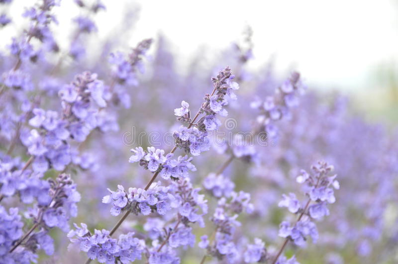 Catnip. Purple Catnip flowers Nepeta cataria royalty free stock photos