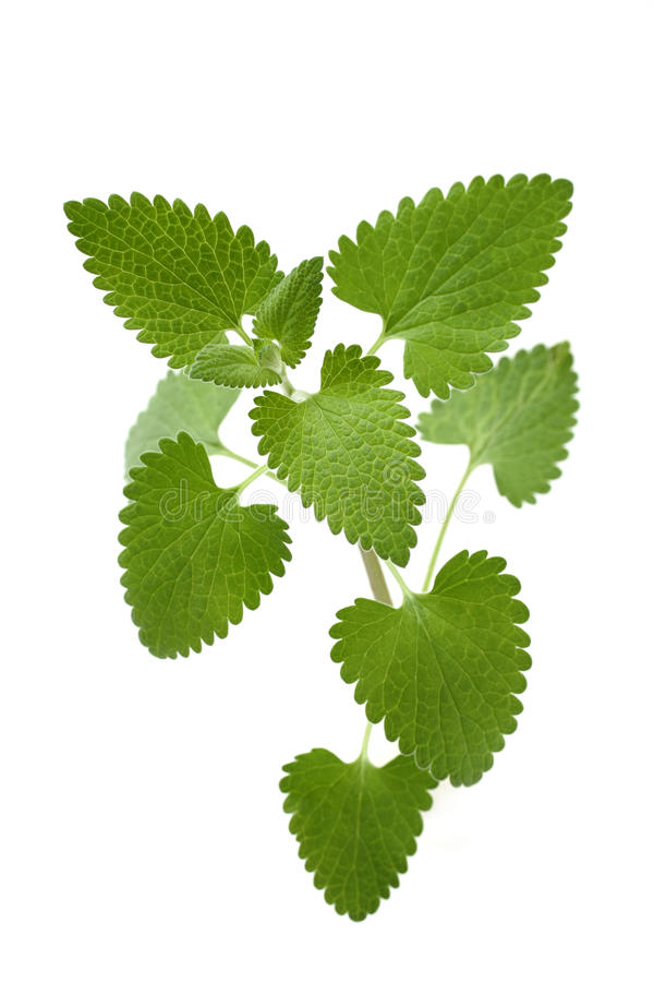 Catnip on a white background royalty free stock photography