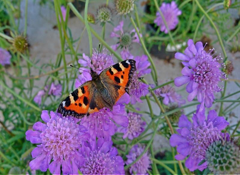 Catnipblomma för en fin fjäril arkivfoton