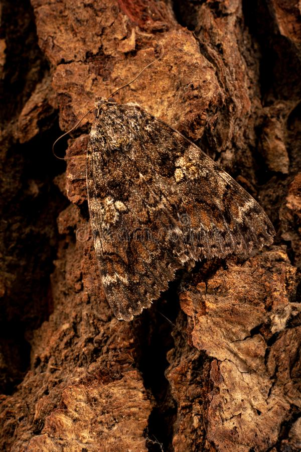 Catocal electa mimic on wooden background. Large brown moth mimicry on the brown bark of a tree royalty free stock image