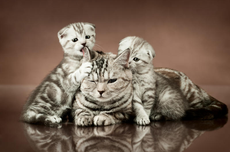 Cats. Family group of three fluffy beautiful kitten with mother, breed scottish-fold, lie on brown background stock images