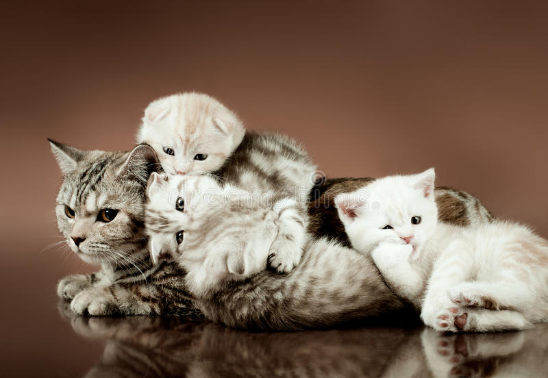 Cats. Family group of four fluffy beautiful kitten with mother, breed scottish-fold, lie on brown background royalty free stock images