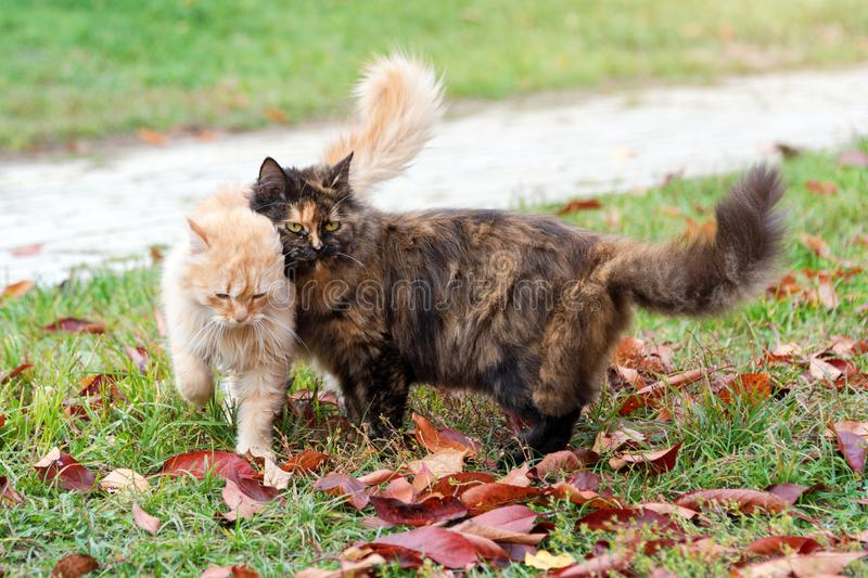 Cats in autumn park. Tortoiseshell and red cats in love walking on colorful fallen leaves outdoor. Cats in autumn park. Tortoiseshell and red cats in love stock photography
