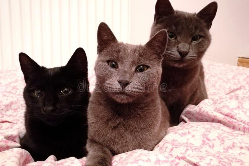 3 cats. Black cat Fila, light gray cat Ana, dark gray cat Ezio royalty free stock image