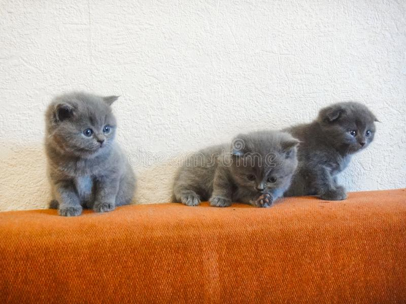 Cats - British, Russian or Shotlad blue breed. Very cute and touching little gray fluffy kittens. Children, tenderness, affection royalty free stock photo