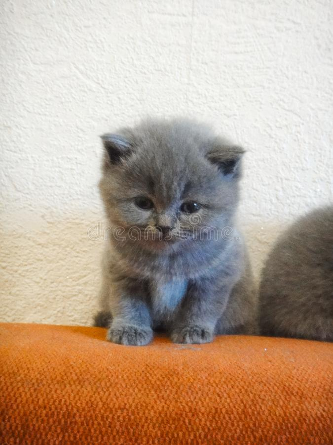 Cats - British, Russian or Shotlad blue breed. Very cute and touching little gray fluffy kittens. Children, tenderness, affection stock photography