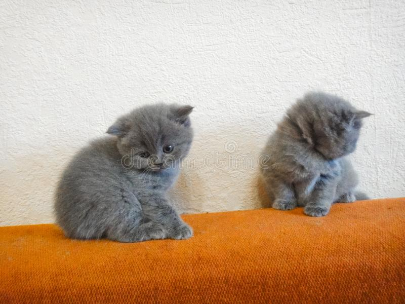 Cats - British, Russian or Shotlad blue breed. Very cute and touching little gray fluffy kittens. Children, tenderness, affection stock photo
