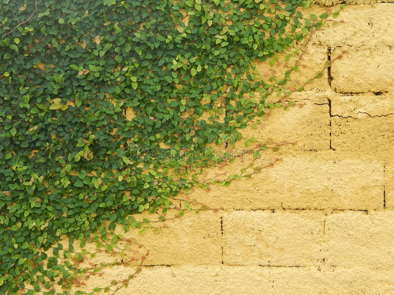 Cats claw on a yellow wall stock photo. Image of leaves - 42996308