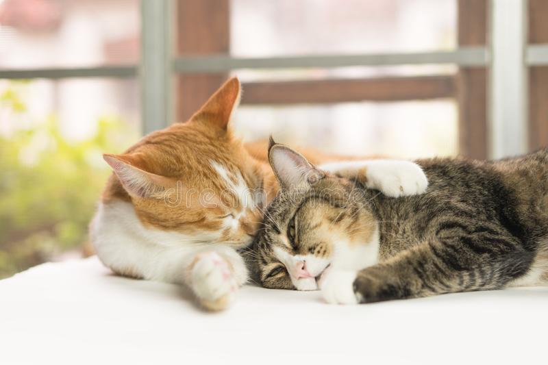 Cats are cleaning the body every day. royalty free stock image