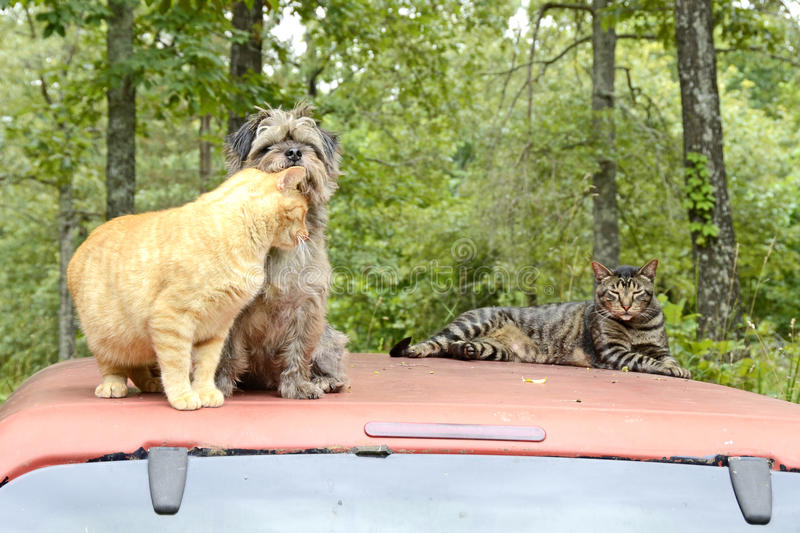 Cats and Dogs in the Missouri Forest. ALTON, MI - JULY 30: A local cat and dog snuggle on July 30, 2014 in Alton, Missouri. Alton's human population is well stock images