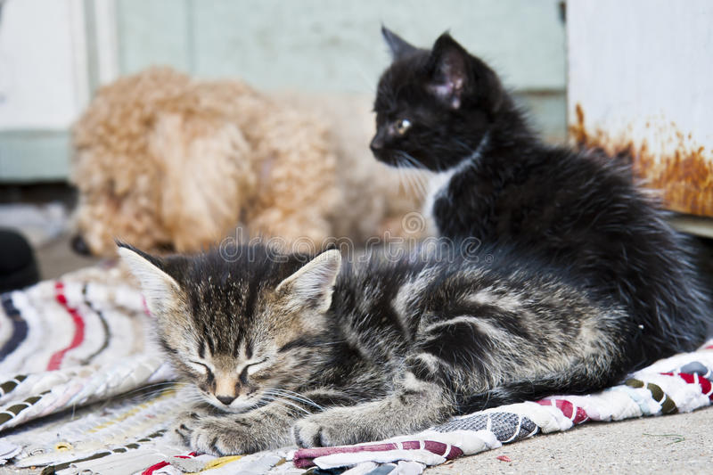 Cats and Dogs. Two kittens with their dog friend stock photography
