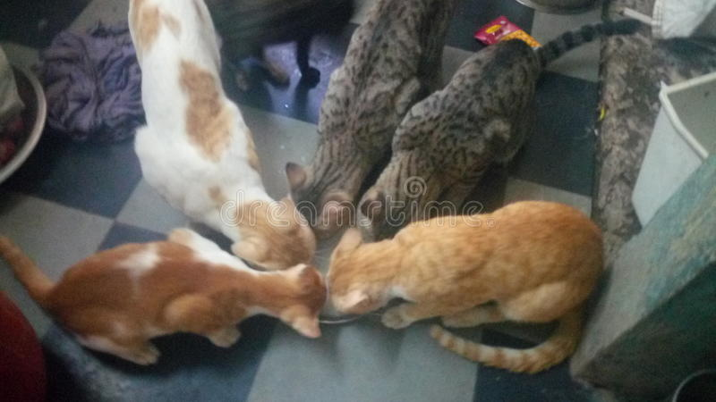 Cats drinking milk stock photo