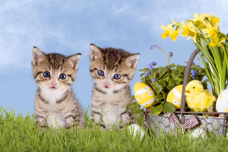 Cats, Easter, with daffodils on grass. With blue sky royalty free stock photography