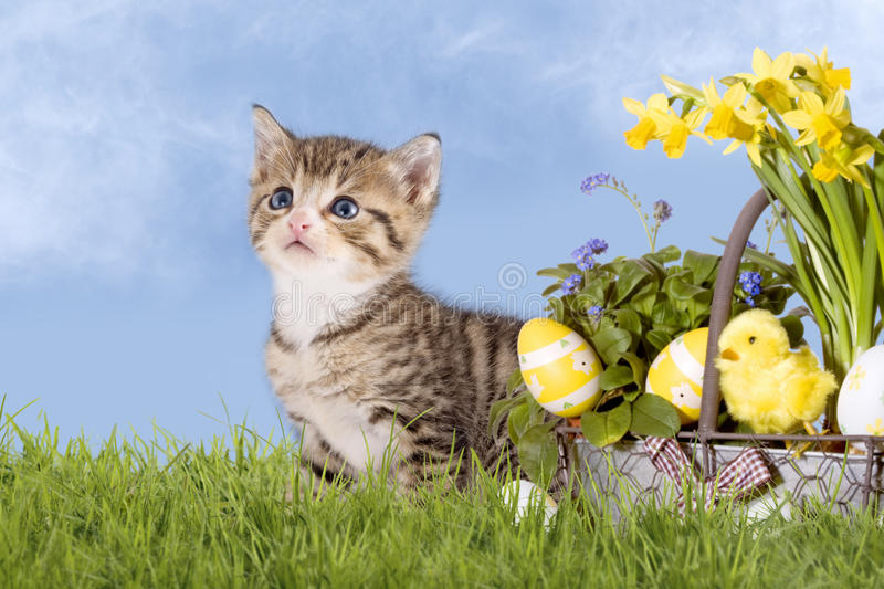 Cats, Easter, with daffodils on grass. With blue sky royalty free stock image