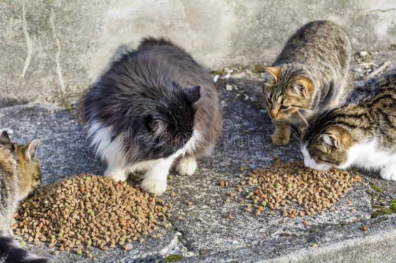 Cats Eating Dry Food royalty free stock images