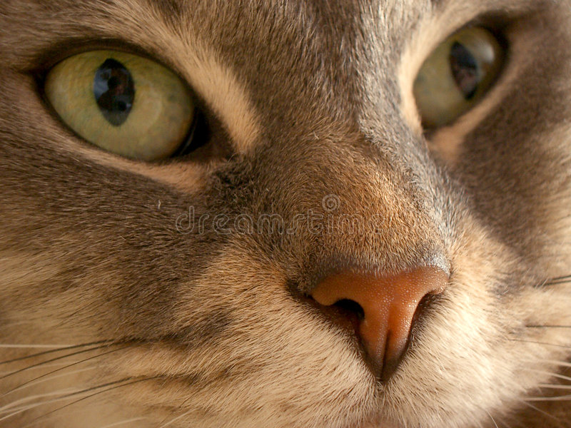 Download Cats Eyes stock image. Image of cats, feline, nose, wiskers - 83647